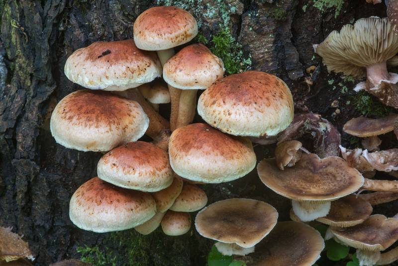 "Brick tuft mushrooms (<B>Hypholoma lateritium</B>) in Blizhnie Dubki area near Lisiy Nos, west from Saint Petersburg. Russia, <A HREF=""../date-en/2017-09-21.htm"">September 21, 2017</A>"