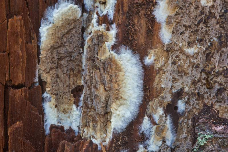 Wet rot fungus (Coniophora puteana) on a broken spruce tree in area of Lisiy Nos - Olgino west from Saint Petersburg. Russia, September 21, 2017