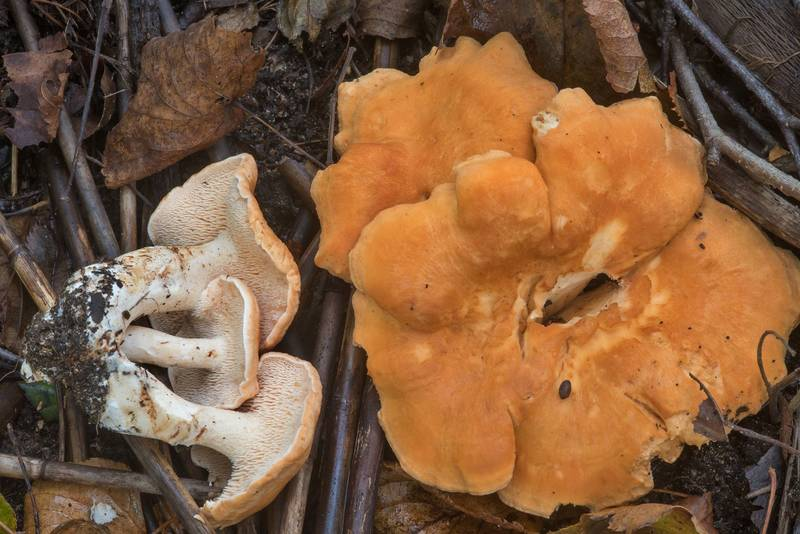 "Terracotta hedgehog mushrooms (<B>Hydnum rufescens</B>) in Tarkhovka near Sestroretsk, west from Saint Petersburg. Russia, <A HREF=""../date-ru/2017-09-22.htm"">September 22, 2017</A>"