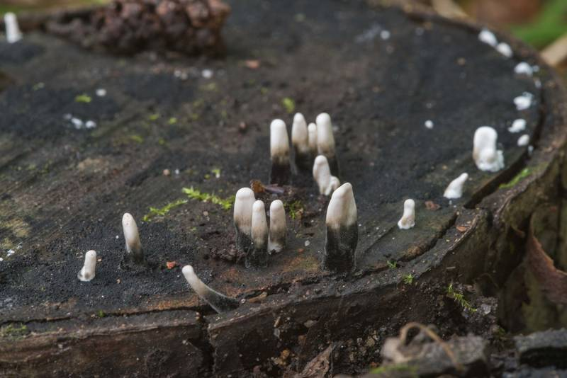 Young candlesnuff mushrooms (Xylaria hypoxylon) in Tarkhovka near Sestroretsk, west from Saint Petersburg. Russia, September 22, 2017