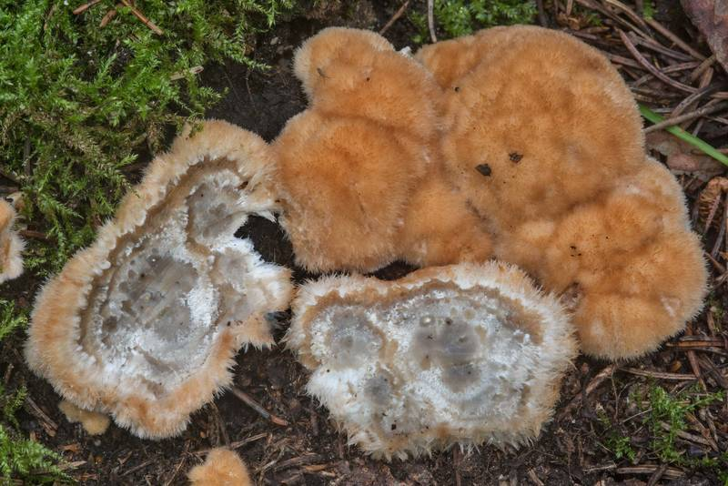 "Dissected powderpuff bracket mushrooms (<B>Postia ptychogaster</B>) in Tarkhovka near Sestroretsk, west from Saint Petersburg. Russia, <A HREF=""../date-ru/2017-09-22.htm"">September 22, 2017</A>"