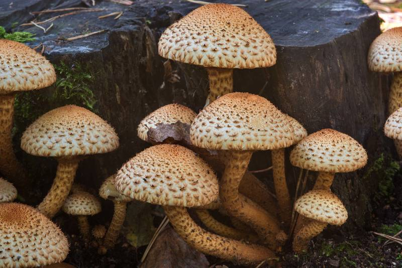 "Shaggy scalycap mushrooms (<B>Pholiota squarrosa</B>) on a stump in Sosnovka Park. Saint Petersburg, Russia, <A HREF=""../date-ru/2017-09-23.htm"">September 23, 2017</A>"