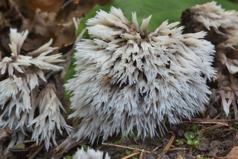 "Urchin earthfan fungus (<B>Thelephora penicillata</B>) on the ground in Aleksandrovsky (Alexander) Park of Pushkin (former Tsarskoe Selo), a suburb of Saint Petersburg. Russia, <A HREF=""../date-en/2017-09-25.htm"">September 25, 2017</A>"