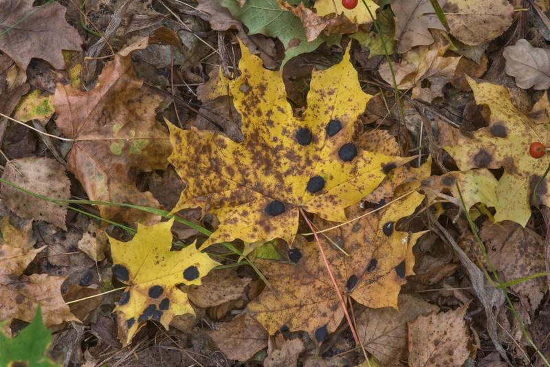 "Sycamore tarspot fungus (<B>Rhytisma acerinum</B>) on fallen maple leaves in a forest along the gulf in area of Lisiy Nos - Morskaya, west from Saint Petersburg. Russia, <A HREF=""../date-ru/2017-09-26.htm"">September 26, 2017</A>"