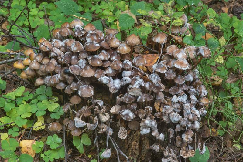 Clustered bonnet mushrooms (Mycena inclinata) with some mold in a forest along the gulf in area of Lisiy Nos - Morskaya, west from Saint Petersburg. Russia, September 26, 2017