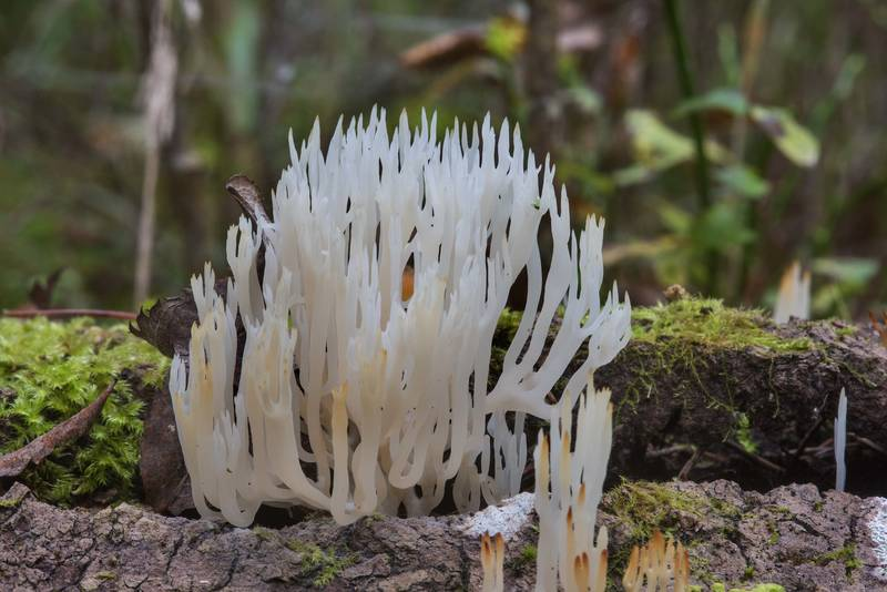 White wood coral mushrooms (Lentaria epichnoa) on a fallen aspen(?) in Posiolok near Vyritsa, 50 miles south from Saint Petersburg. Russia, September 29, 2017