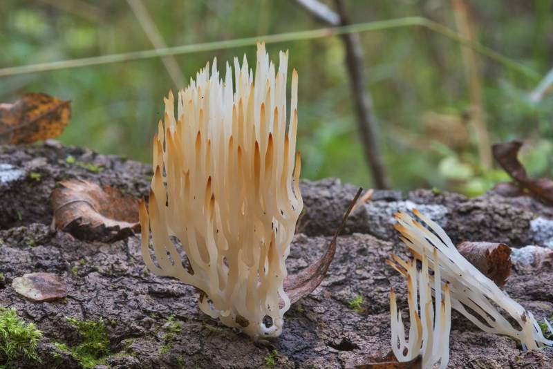 White wood coral mushrooms (Lentaria epichnoa) with brown branches in Posiolok near Vyritsa, 50 miles south from Saint Petersburg. Russia, September 29, 2017