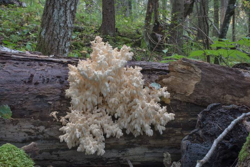 Coral tooth mushrooms (Hericium coralloides) on a fallen tree near Oredezh River in Posiolok near Vyritsa, 50 miles south from Saint Petersburg. Russia, September 29, 2017