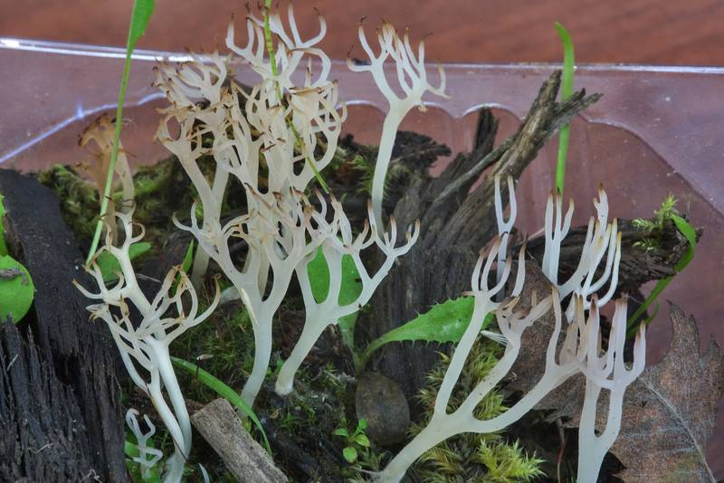 "Coral-like mushrooms <B>Lentaria albovinacea</B> on mushroom show in Botanic Gardens of Komarov Botanical Institute. Saint Petersburg, Russia, <A HREF=""../date-ru/2017-09-29.htm"">September 29, 2017</A>"