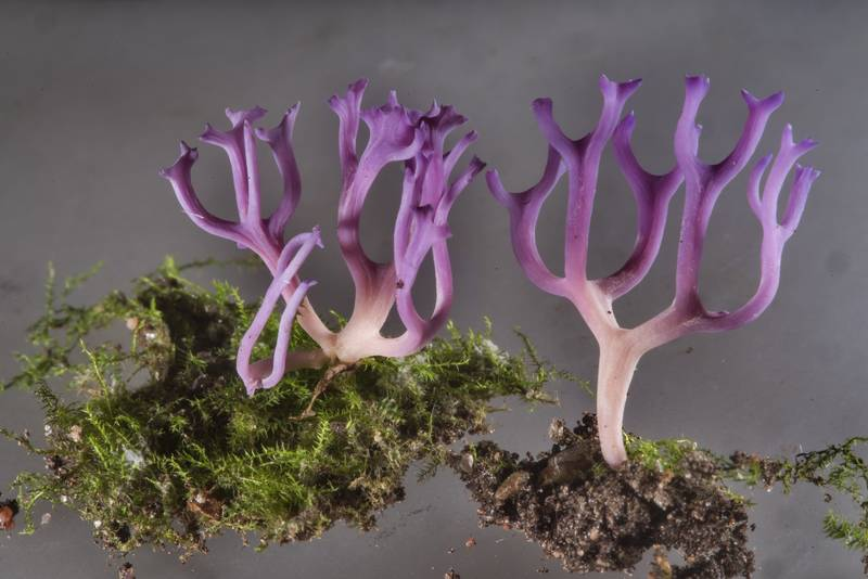 Violet coral fungus Ramariopsis pulchella from a greenhouse on mushroom show in Botanic Gardens of Komarov Botanical Institute. Saint Petersburg, Russia, September 30, 2017