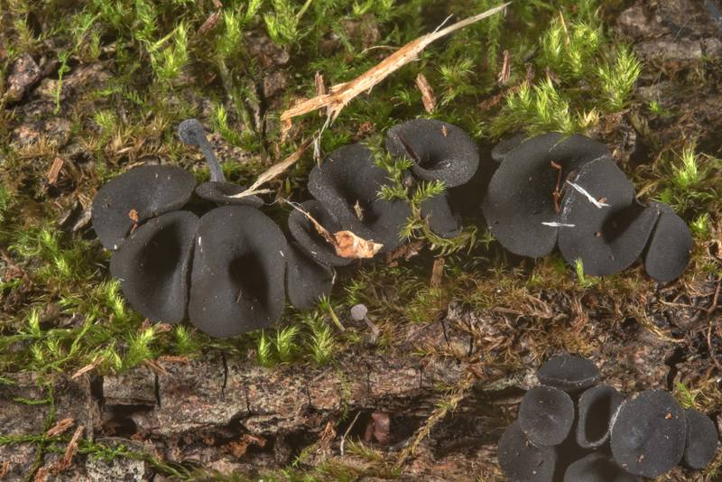 Saucer-shaped sexual stage of Holwaya mucida fungus on mushroom show in Botanic Gardens of Komarov Botanical Institute. Saint Petersburg, Russia, September 30, 2017