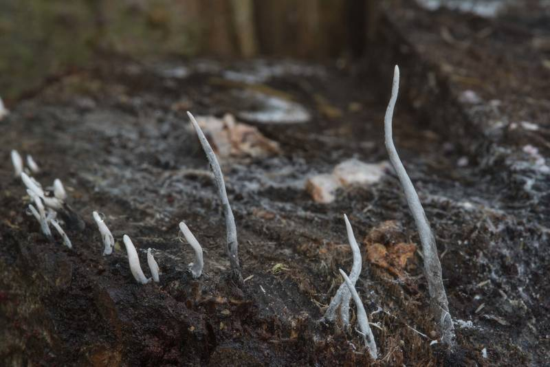 Candlesnuff fungus (Xylaria hypoxylon) on rotten timber in lower Sergievka Park. Old Peterhof, west from Saint Petersburg, Russia, October 5, 2017