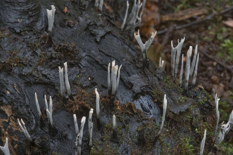 "Close up of candlesnuff fungus (<B>Xylaria hypoxylon</B>) in Sergievka Park. Old Peterhof, west from Saint Petersburg, Russia, <A HREF=""../date-ru/2017-10-05.htm"">October 5, 2017</A>"