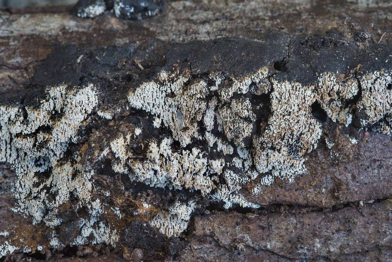 "Array of tubular fruiting bodies of a cyphelloid fungus <B>Henningsomyces candidus</B> on rotten wood in Bee Creek Park. College Station, Texas, <A HREF=""../date-en/2017-10-25.htm"">October 25, 2017</A>"