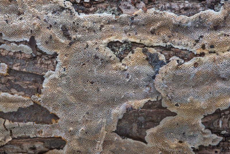 "Crust polypore fungus <B>Perenniporia tenuis</B>(?) on a fallen oak branch in Wolf Pen Creek Park. College Station, Texas, <A HREF=""../date-en/2017-10-28.htm"">October 28, 2017</A>"