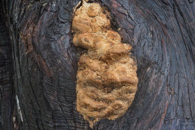 "Antrodia juniperina (<B>Subantrodia juniperina</B>) fungus on a red cedar tree on Anderson Street. College Station, Texas, <A HREF=""../date-en/2017-11-01.htm"">November 1, 2017</A>"