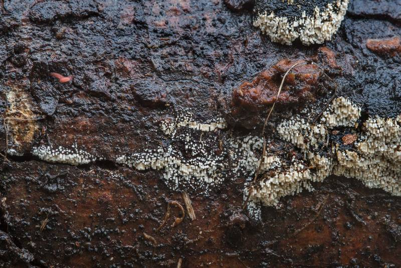 "Fruiting bodies of a cyphelloid fungus <B>Henningsomyces candidus</B> on rotten wood in Bee Creek Park. College Station, Texas, <A HREF=""../date-en/2017-11-01.htm"">November 1, 2017</A>"