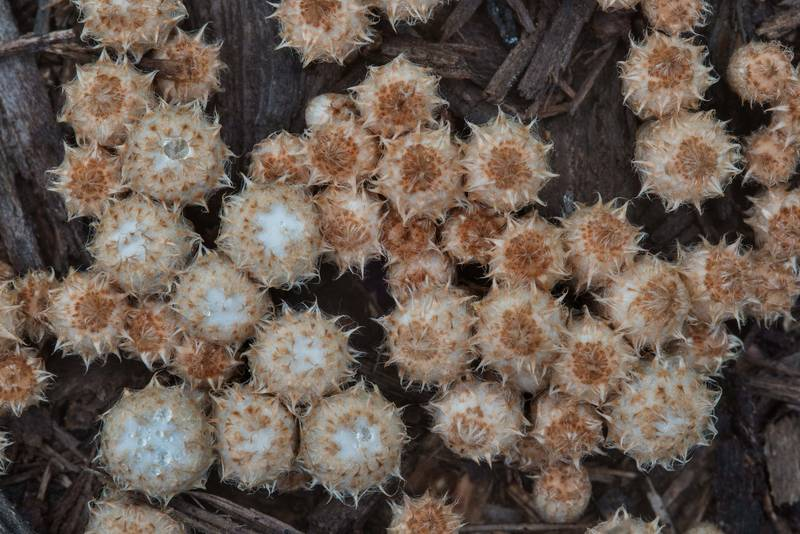 "Young Dung-loving Bird's-nest mushrooms (<B>Cyathus stercoreus</B>) in Lemontree Park. College Station, Texas, <A HREF=""../date-en/2017-11-04.htm"">November 4, 2017</A>"