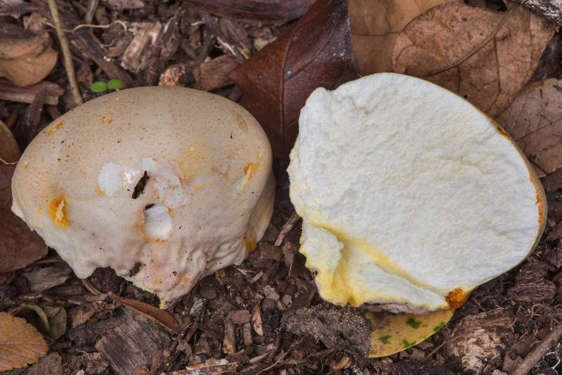 Dissected young orange-staining puffball (Calvatia rugosa, former C. rubroflava) mushroom in Bee Creek Park. College Station, Texas, November 8, 2017