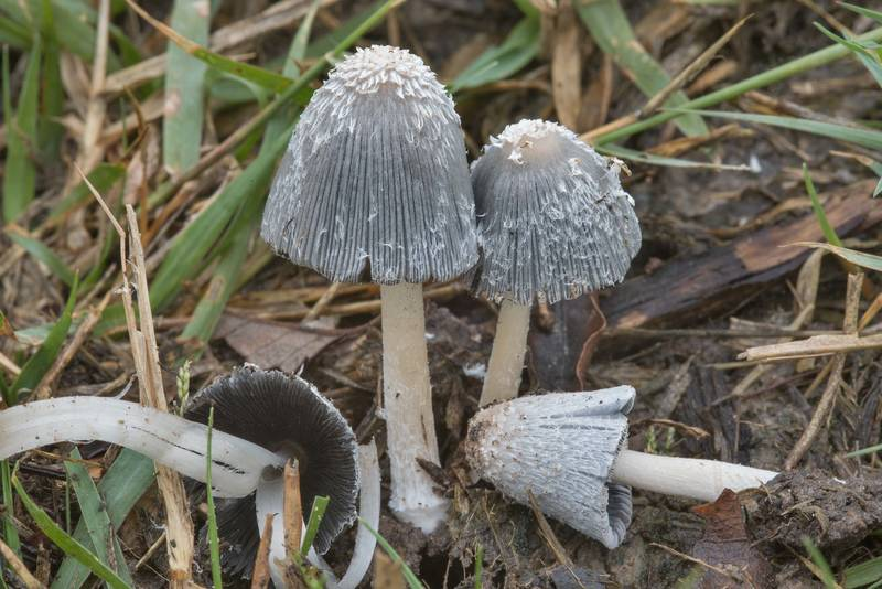 Hare's foot inkcap mushrooms (Coprinopsis lagopus) on a lawn on Anderson Street. College Station, Texas, November 8, 2017