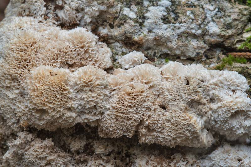 "Close up of frothy porecrust fungus (<B>Oxyporus latemarginatus</B>) on a wet log on Kiwanis Nature Trail. College Station, Texas, <A HREF=""../date-en/2017-11-12.htm"">November 12, 2017</A>"