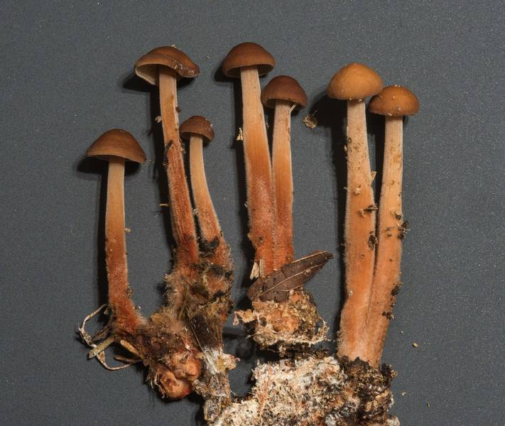 Young Gymnopus spongiosus mushrooms taken from Kiwanis Nature Trail. College Station, Texas, November 12, 2017