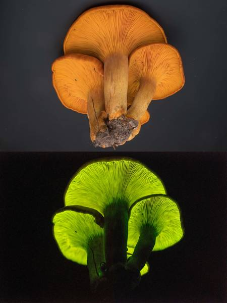 Glowing Jill o' Lanterns mushrooms (Omphalotus subilludens) taken from Kiwanis Nature Trail. College Station, Texas, November 15, 2017