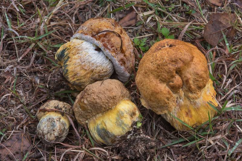 Small bolete mushrooms Boletus luridellus on a lawn in Thomas Park. College Station, Texas, November 17, 2017