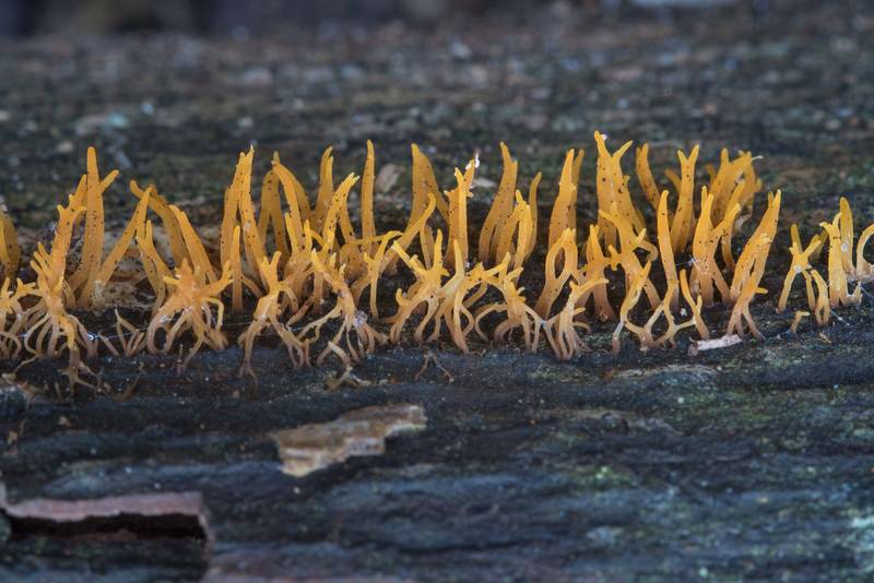 Coral fungus Calocera cornea on a barkless log on Kiwanis Nature Trail. College Station, Texas, November 17, 2017