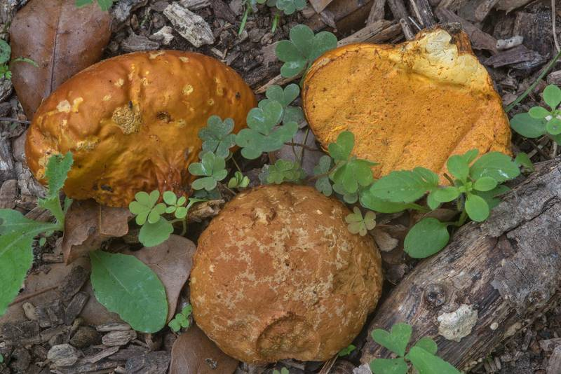 Orange-staining puffball mushrooms (Calvatia rugosa, former C. rubroflava) in Bee Creek Park. College Station, Texas, November 18, 2017