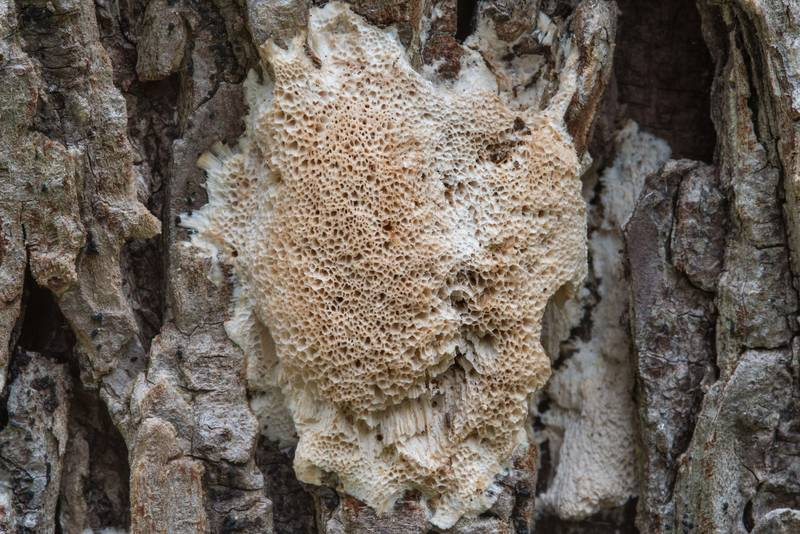 "Close up of frothy porecrust fungus (<B>Oxyporus latemarginatus</B>)(?) on a dry oak in Bee Creek Park. College Station, Texas, <A HREF=""../date-en/2017-11-18.htm"">November 18, 2017</A>"