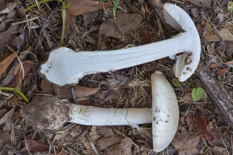 Dissected destroying angel mushroom Amanita bisporigera in Wolf Pen Creek Park. College Station, Texas, November 19, 2017