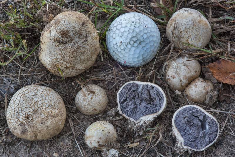 Tuff puffball mushrooms (Scleroderma texense) on a lawn in David E. Schob Nature Preserve at 906 Ashburn Street. College Station, Texas, November 24, 2017