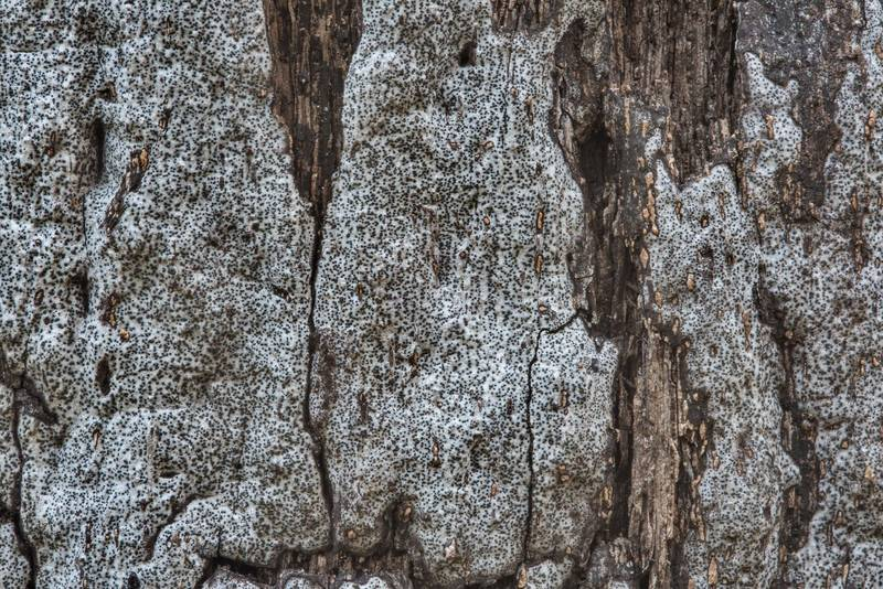 "Gray-white smooth sheet with black dots of a fungus <B>Biscogniauxia atropunctata</B> (Hypoxylon atropunctatum) on a dry oak tree in Hensel Park. College Station, Texas, <A HREF=""../date-en/2017-12-02.htm"">December 2, 2017</A>"
