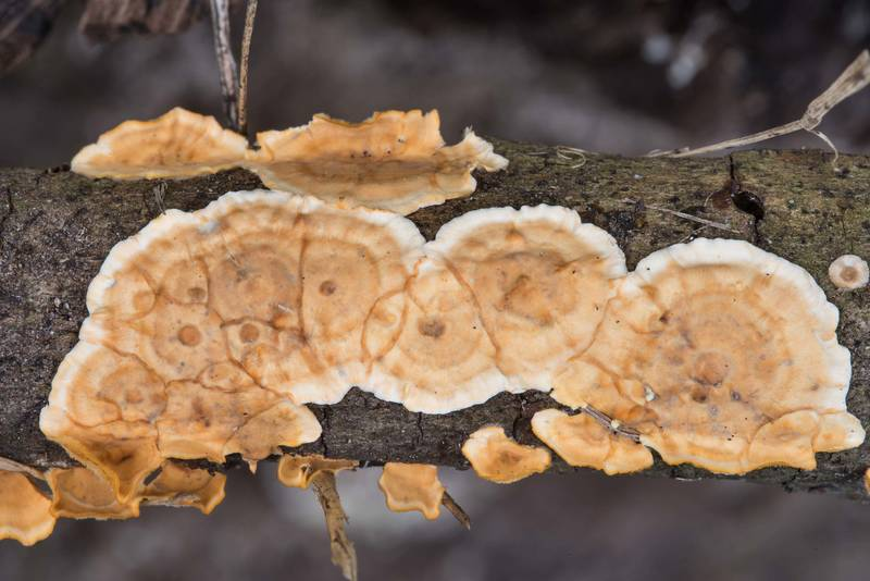 "Crust of corticioid mushroom Crowded parchment (<B>Stereum complicatum</B>)(?) in D. A. Andy Anderson Brazos Valley Arboretum in Bee Creek Park. College Station, Texas, <A HREF=""../date-en/2017-12-03.htm"">December 3, 2017</A>"