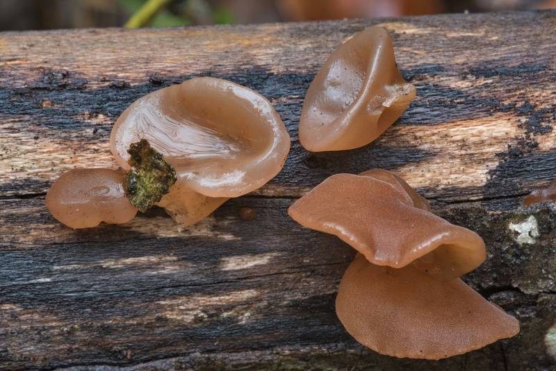 "The Jelly Ear mushrooms (Auricularia angiospermarum, <B>Auricularia auricula-judae</B> complex) on Kiwanis Nature Trail. College Station, Texas, <A HREF=""../date-en/2017-12-07.htm"">December 7, 2017</A>"