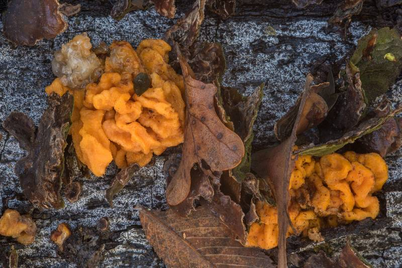 "<B>Tremella aurantia</B> fungus on a fallen oak in Hensel Park. College Station, Texas, <A HREF=""../date-en/2017-12-09.htm"">December 9, 2017</A>"