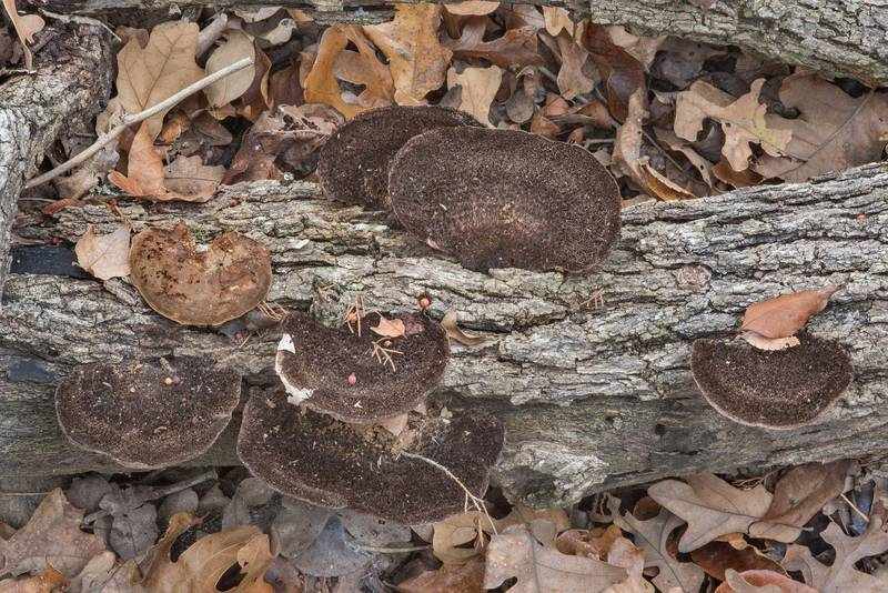 Polypore mushrooms Hexagonia hydnoides on a fallen tree in David E. Schob Nature Preserve at 906 Ashburn Street. College Station, Texas, December 13, 2017