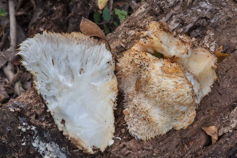 "<B>Hericium erinaceus</B> (Lion s Mane Mushroom, Bearded Tooth Mushroom) on Raccoon Run Trail in Lick Creek Park. College Station, Texas, <A HREF=""../date-en/2017-12-15.htm"">December 15, 2017</A>"