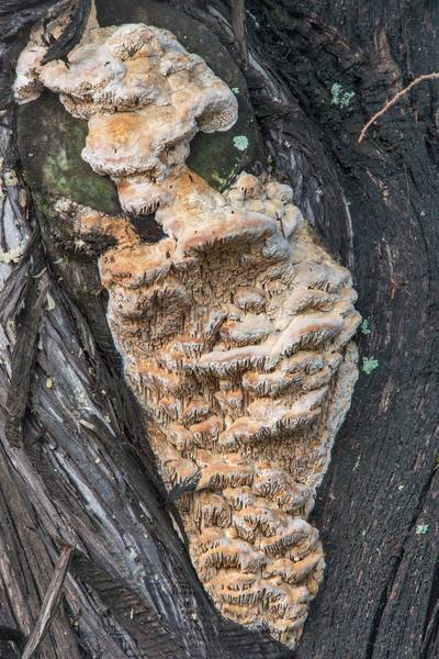 "<B>Subantrodia juniperina</B> (Antrodia juniperina) tinder mushrooms on a cedar tree on Walton Drive. College Station, Texas, <A HREF=""../date-en/2017-12-20.htm"">December 20, 2017</A>"