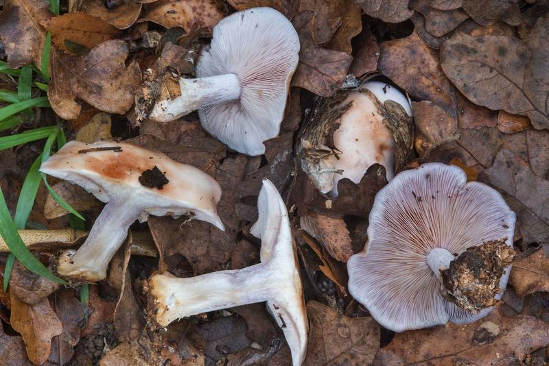 Dissected wood blewit mushrooms (Clitocybe nuda, Lepista nuda) in bushes in Hensel Park. College Station, Texas, December 22, 2017