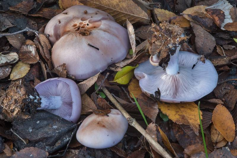 Wood blewit mushrooms (Clitocybe nuda, Lepista nuda) in Bee Creek Park. College Station, Texas, December 23, 2017