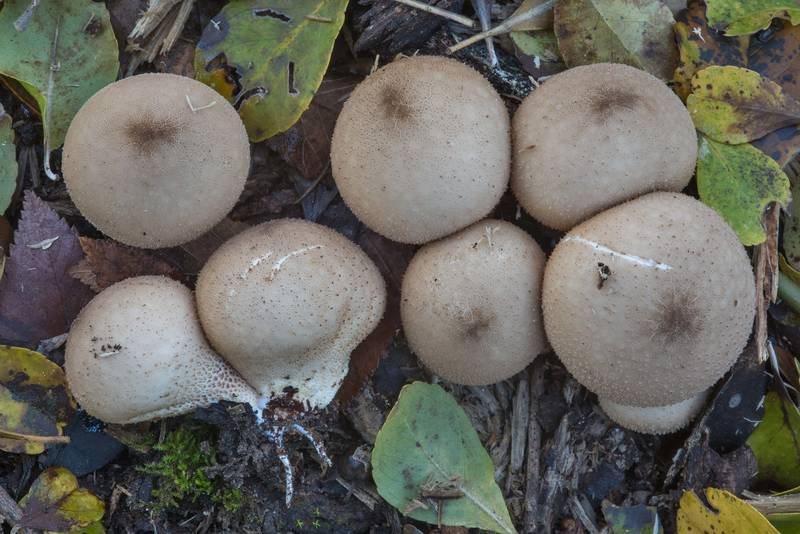 "Pear-shaped puffball mushrooms (<B>Lycoperdon pyriforme</B>) on Kiwanis Nature Trail. College Station, Texas, <A HREF=""../date-en/2017-12-25.htm"">December 25, 2017</A>"
