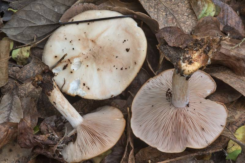 "Brownish caps of wood blewit mushrooms (Clitocybe nuda, <B>Lepista nuda</B>) in Bee Creek Park. College Station, Texas, <A HREF=""../date-en/2017-12-30.htm"">December 30, 2017</A>"
