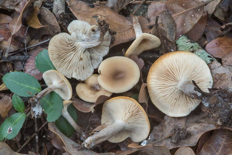 "Twotone funnel mushrooms (<B>Clitocybe metachroa</B>) in Hensel Park. College Station, Texas, <A HREF=""../date-en/2017-12-31.htm"">December 31, 2017</A>"