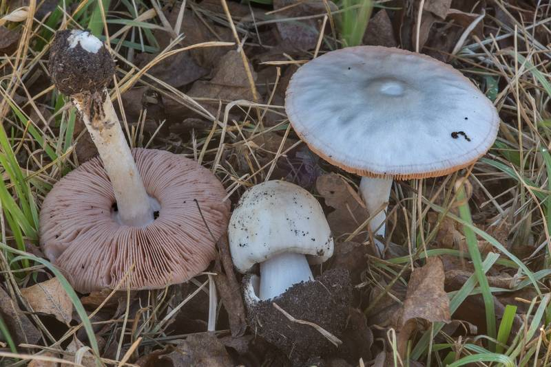 "Big sheath mushrooms (<B>Volvopluteus gloiocephalus</B>) on a lawn on Anderson Street. College Station, Texas, <A HREF=""../date-en/2018-01-28.htm"">January 28, 2018</A>"