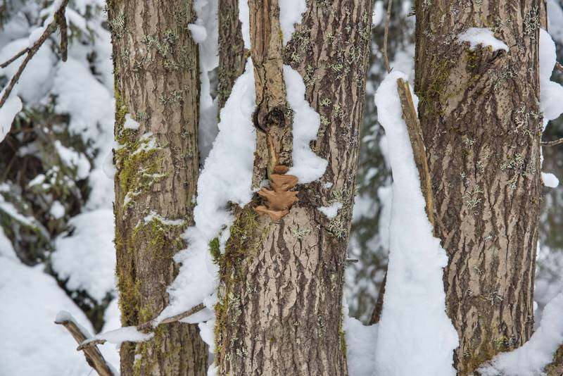 "Polypore mushrooms <B>Phellinopsis conchata</B> on a willow west from Kavgolovo Lake near Toksovo, north from Saint Petersburg. Russia, <A HREF=""../date-en/2018-02-12.htm"">February 12, 2018</A>"