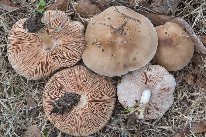 Pluteus mushrooms in Bee Creek Park. College Station, Texas, February 15, 2018