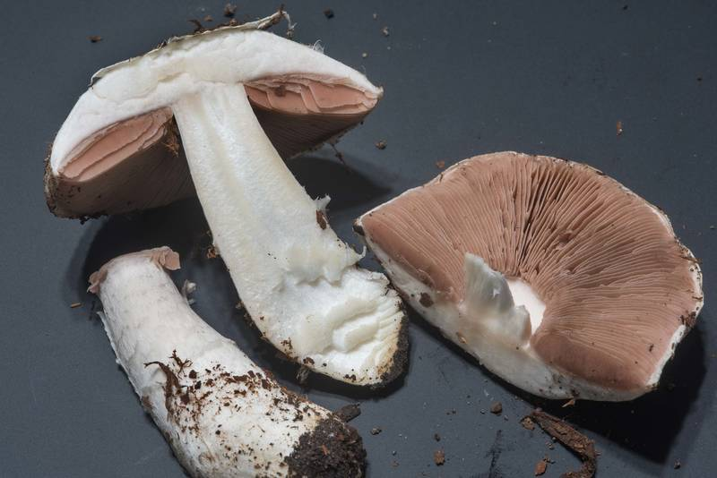 "Meadow mushroom <B>Agaricus campestris</B> taken from the university golf course on Texas Avenue. College Station, Texas, <A HREF=""../date-en/2018-02-15.htm"">February 15, 2018</A>"