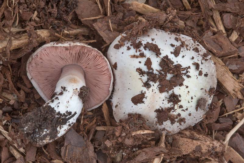 "Meadow mushroom <B>Agaricus campestris</B> on the university golf course on Texas Avenue. College Station, Texas, <A HREF=""../date-en/2018-02-17.htm"">February 17, 2018</A>"